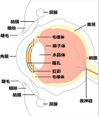 鍼と眼の血流|千葉県|松戸・船橋・鎌ヶ谷|鍼灸治療院